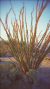 Ocotillo in South Mountain Park in Phoenix, AZ, United States, photo by Avi Friedman